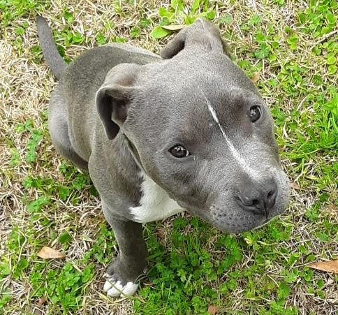 LOST: 5month old Blue Nose Pitbull puppy near Mohican Ave
